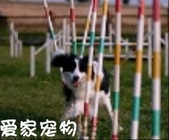 狗狗绕杆训练