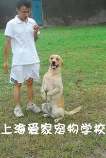 拉不拉多犬训练故事
