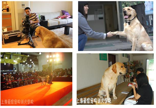宠物训练 宠物学校 宠物训练学校 上海爱家宠物训练学校